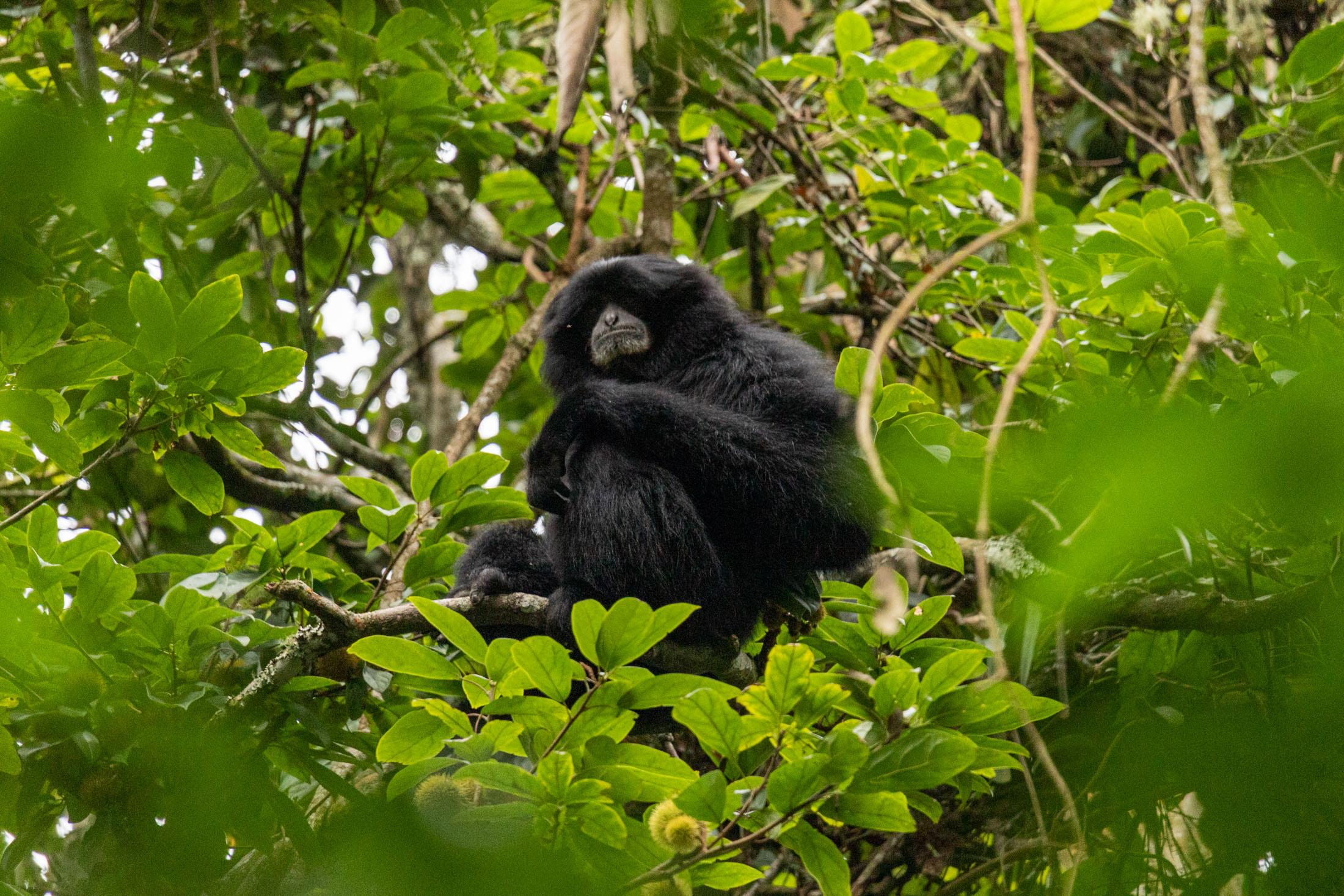 sumatra_selva-mono